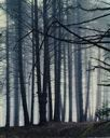 Image of Spruce Trees in Fog, Maine